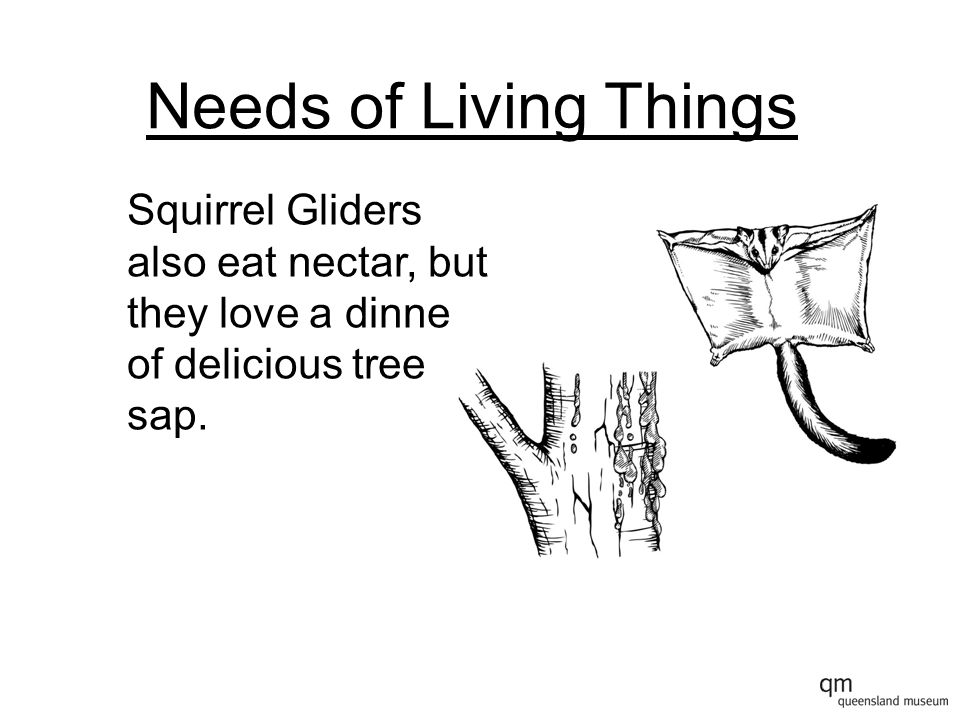 Needs of Living Things Squirrel Gliders also eat nectar, but they love a dinner of delicious tree sap.