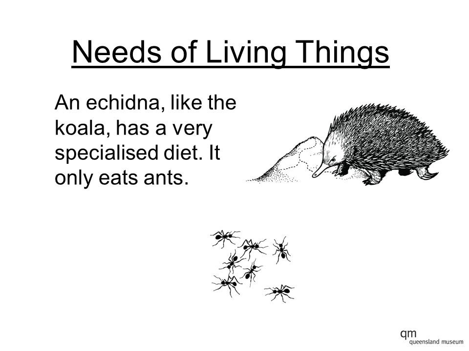 Needs of Living Things An echidna, like the koala, has a very specialised diet. It only eats ants.