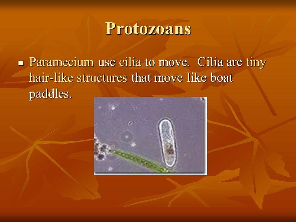 Protozoans Paramecium use cilia to move. Cilia are tiny hair-like structures that move like boat paddles. Paramecium use cilia to move. Cilia are tiny