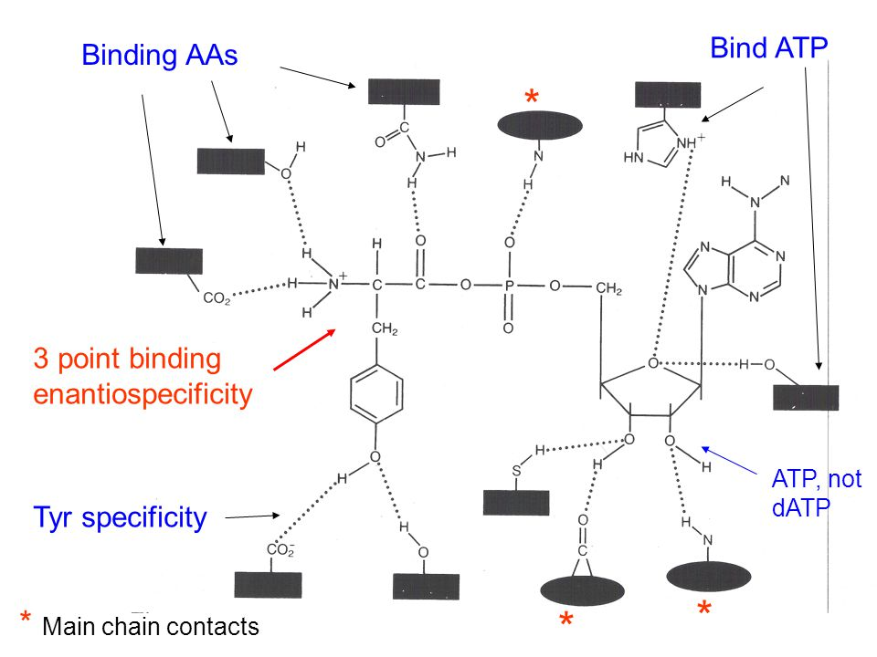 * * * * Main chain contacts Tyr specificity Binding AAs 3 point binding enantiospecificity Bind ATP ATP, not dATP