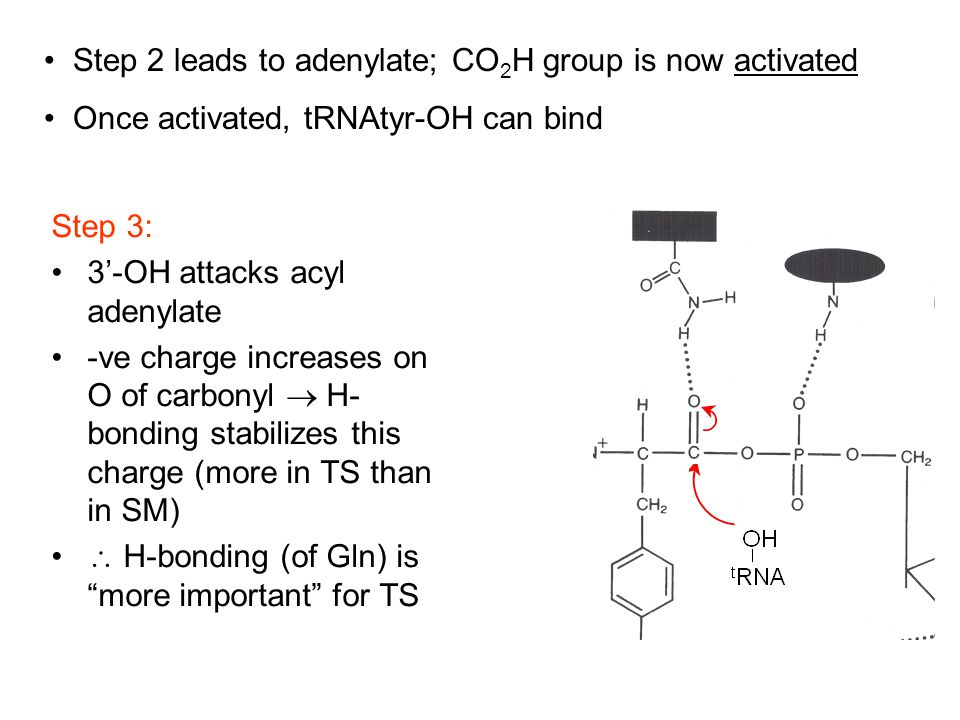 Step 3: 3'-OH attacks acyl adenylate -ve charge increases on O of carbonyl  H- bonding stabilizes this charge (more in TS than in SM)  H-bonding (of