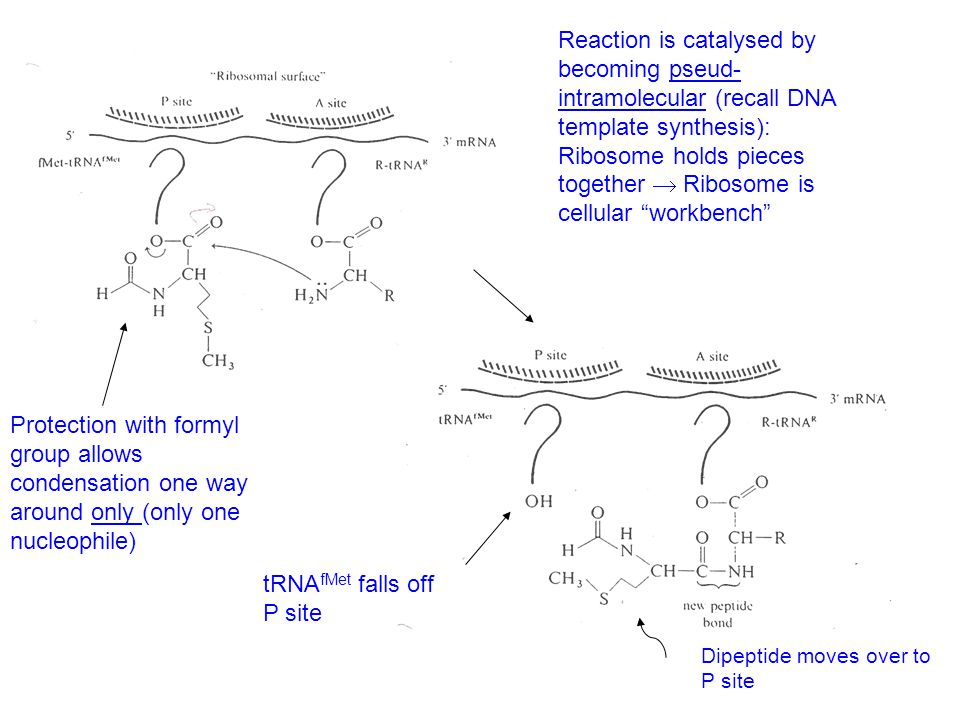 Protection with formyl group allows condensation one way around only (only one nucleophile) Reaction is catalysed by becoming pseud- intramolecular (recall DNA template synthesis): Ribosome holds pieces together  Ribosome is cellular workbench tRNA fMet falls off P site Dipeptide moves over to P site