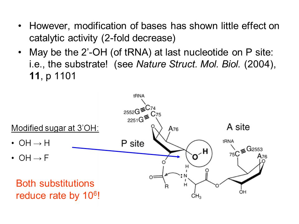 However, modification of bases has shown little effect on catalytic activity (2-fold decrease) May be the 2'-OH (of tRNA) at last nucleotide on P site