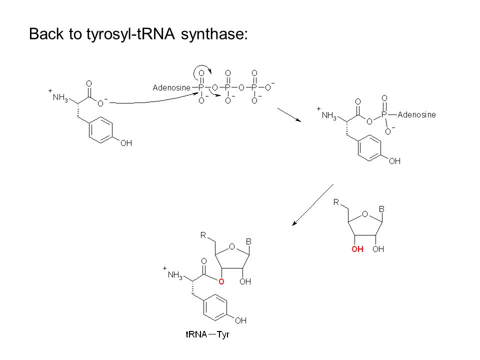 X-ray Structure of tRNA Gln Example of tRNA bound to tRNA synthase (stable without Gln) tRNA (red) binds to enzyme via multiple H-bonds 3'-OH oriented close to ATP (consistent with proposed mechanism in tyrosyl-tRNA) 3-'OH ATP