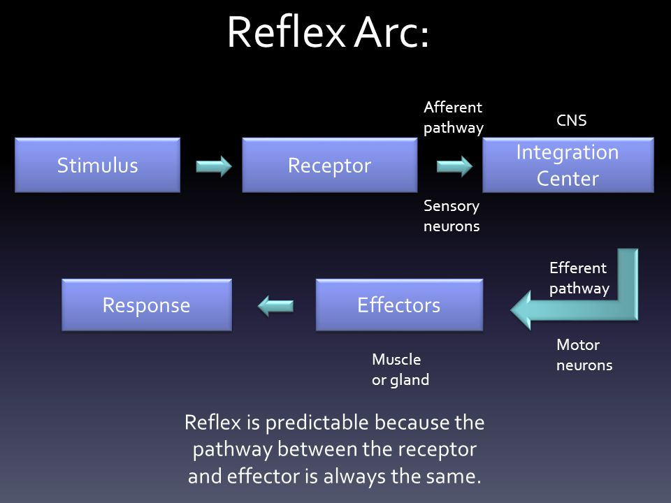 Reflex Arc: Stimulus Receptor Integration Center Effectors Response Afferent pathway CNS Sensory neurons Efferent pathway Motor neurons Muscle or gland Reflex is predictable because the pathway between the receptor and effector is always the same.