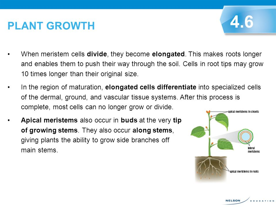 PLANT GROWTH Cell division occurs only in certain parts of a plant. Most differentiated plant cells cannot divide further. However, plants will contin