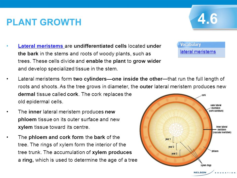 PLANT GROWTH When meristem cells divide, they become elongated. This makes roots longer and enables them to push their way through the soil. Cells in