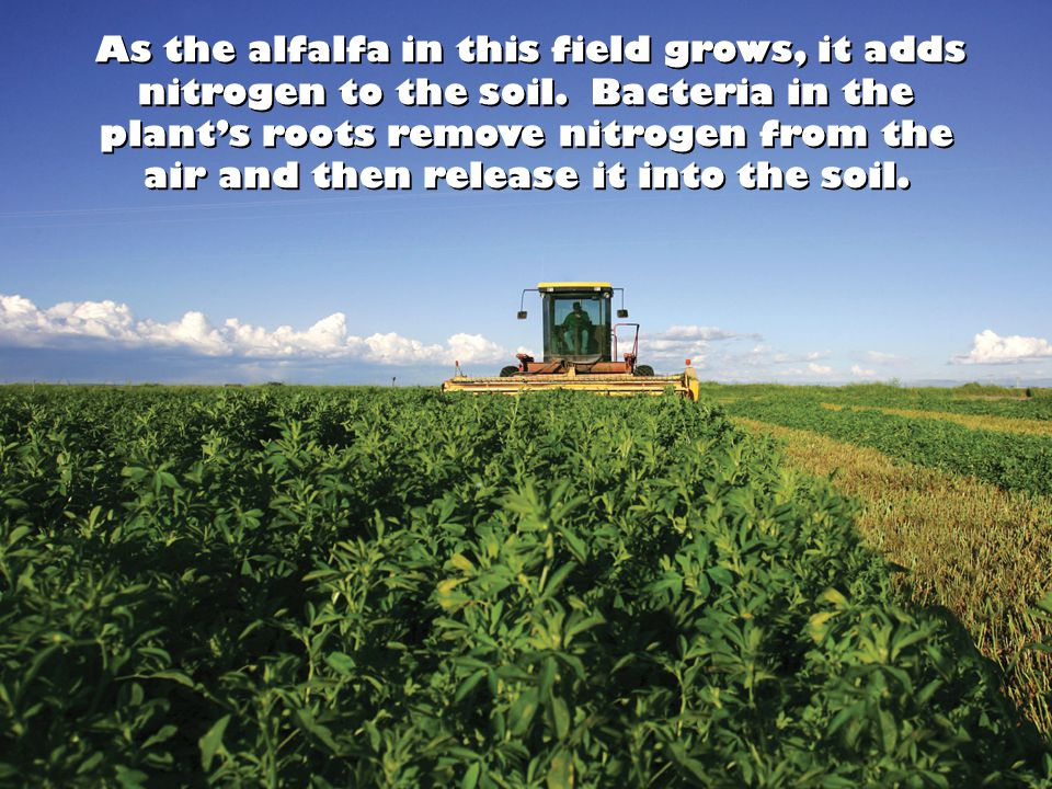As the alfalfa in this field grows, it adds nitrogen to the soil.