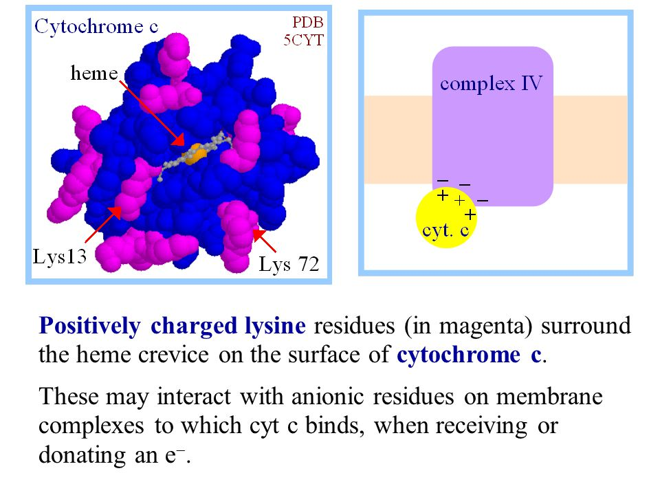Positively charged lysine residues (in magenta) surround the heme crevice on the surface of cytochrome c. These may interact with anionic residues on