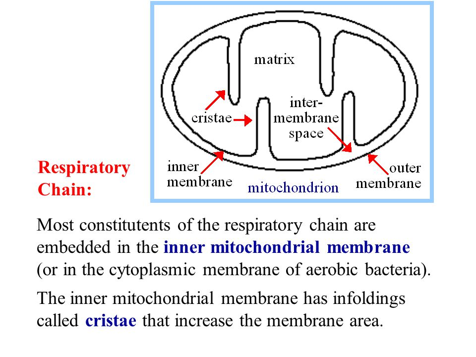 Most constitutents of the respiratory chain are embedded in the inner mitochondrial membrane (or in the cytoplasmic membrane of aerobic bacteria).
