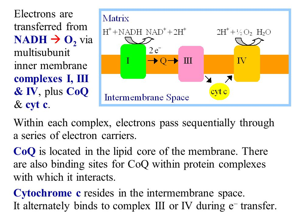 Within each complex, electrons pass sequentially through a series of electron carriers. CoQ is located in the lipid core of the membrane. There are al