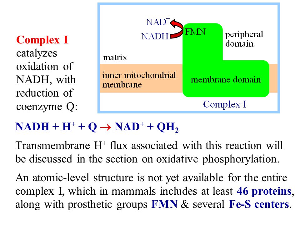 NADH + H + + Q  NAD + + QH 2 Transmembrane H + flux associated with this reaction will be discussed in the section on oxidative phosphorylation. An a