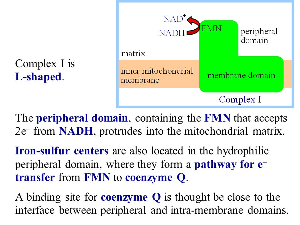 The peripheral domain, containing the FMN that accepts 2e  from NADH, protrudes into the mitochondrial matrix. Iron-sulfur centers are also located i