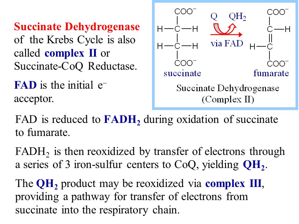 FAD is reduced to FADH 2 during oxidation of succinate to fumarate.