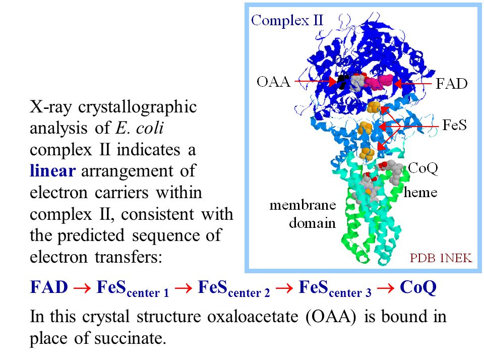 FAD  FeS center 1  FeS center 2  FeS center 3  CoQ In this crystal structure oxaloacetate (OAA) is bound in place of succinate.