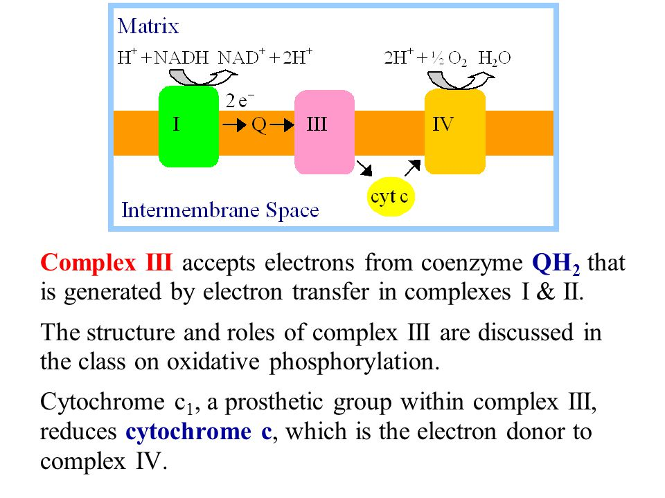 Complex III accepts electrons from coenzyme QH 2 that is generated by electron transfer in complexes I & II.