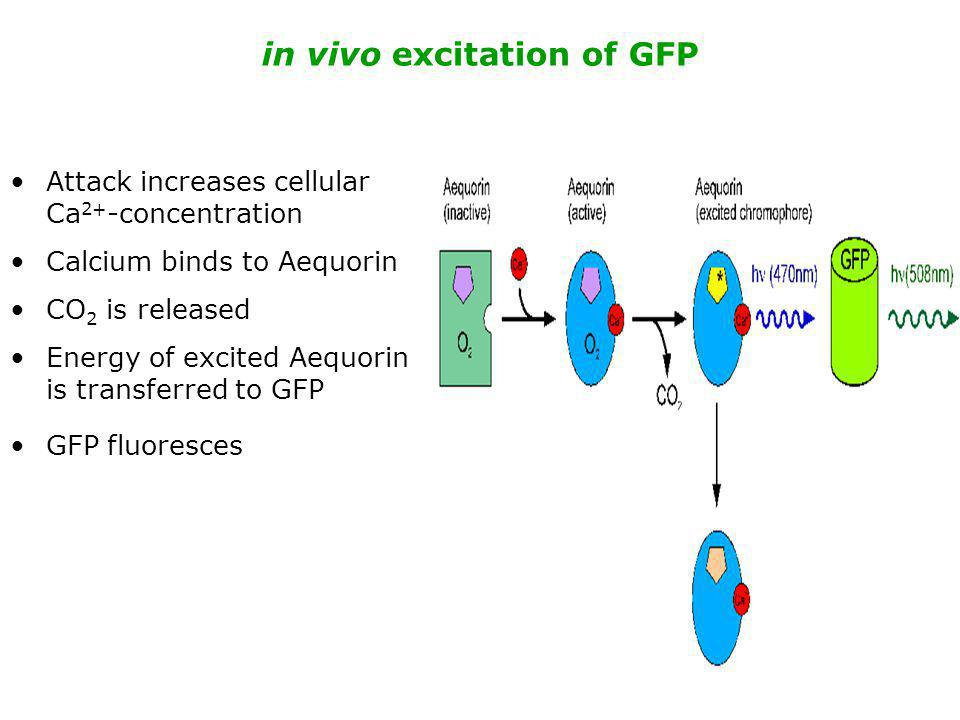 in vivo excitation of GFP Attack increases cellular Ca 2+ -concentration Calcium binds to Aequorin CO 2 is released Energy of excited Aequorin is tran