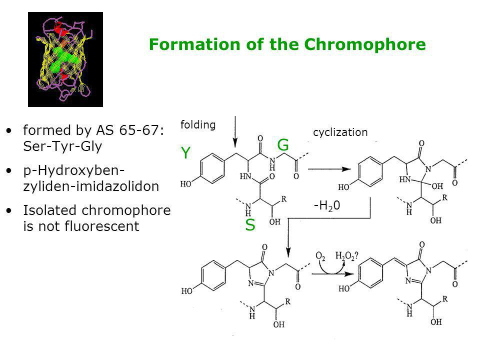 Formation of the Chromophore formed by AS 65-67: Ser-Tyr-Gly p-Hydroxyben- zyliden-imidazolidon Isolated chromophore is not fluorescent Y S G folding