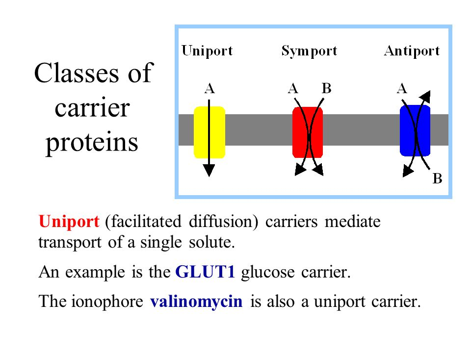 Classes of carrier proteins Uniport (facilitated diffusion) carriers mediate transport of a single solute. An example is the GLUT1 glucose carrier. Th
