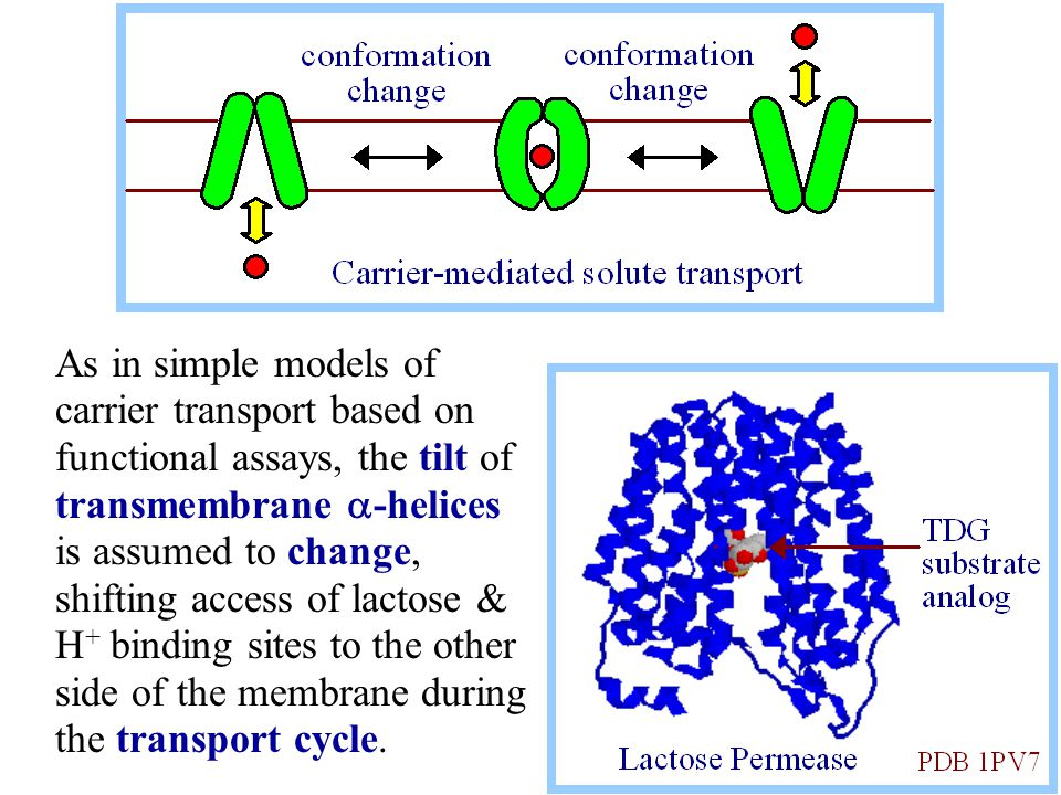 As in simple models of carrier transport based on functional assays, the tilt of transmembrane  -helices is assumed to change, shifting access of lac
