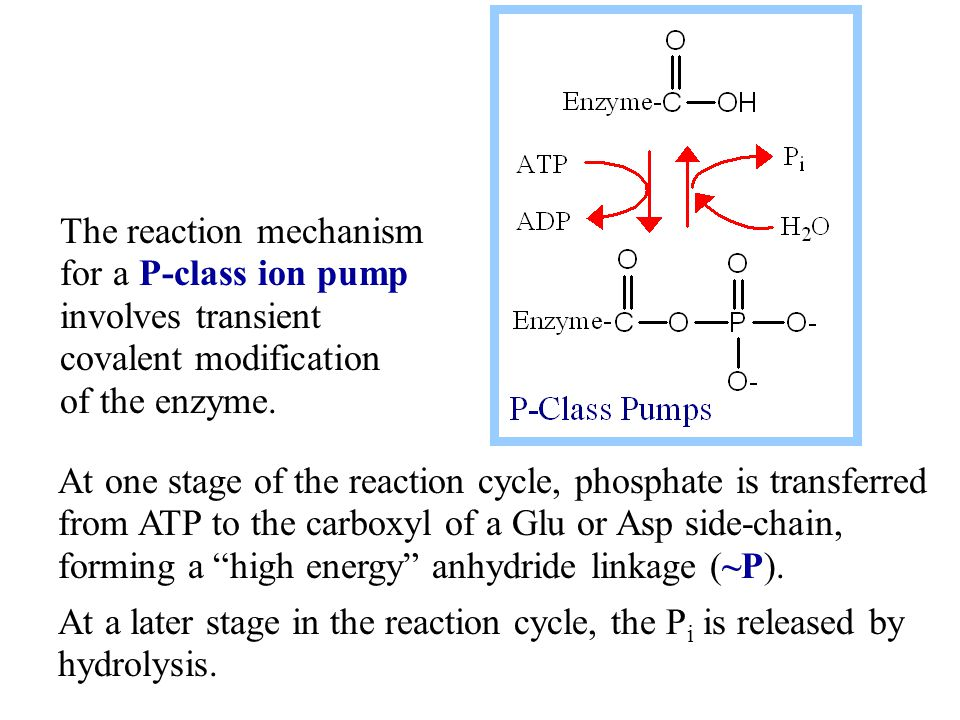 The reaction mechanism for a P-class ion pump involves transient covalent modification of the enzyme. At one stage of the reaction cycle, phosphate is