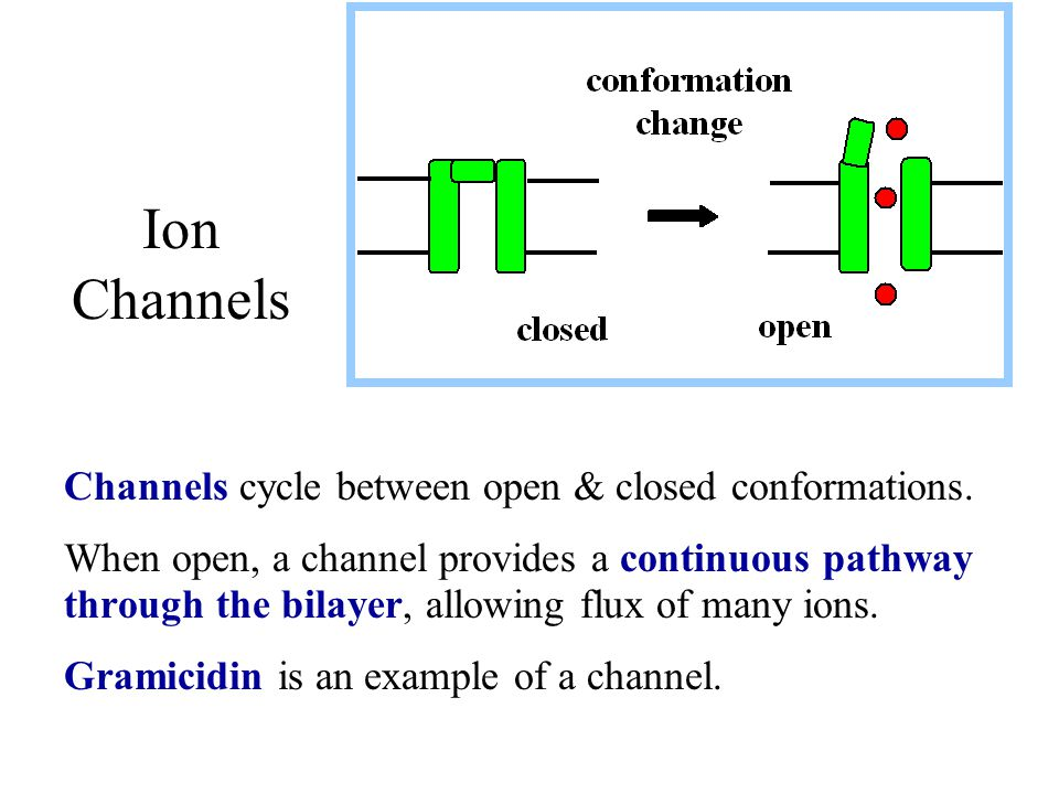 Channels cycle between open & closed conformations. When open, a channel provides a continuous pathway through the bilayer, allowing flux of many ions