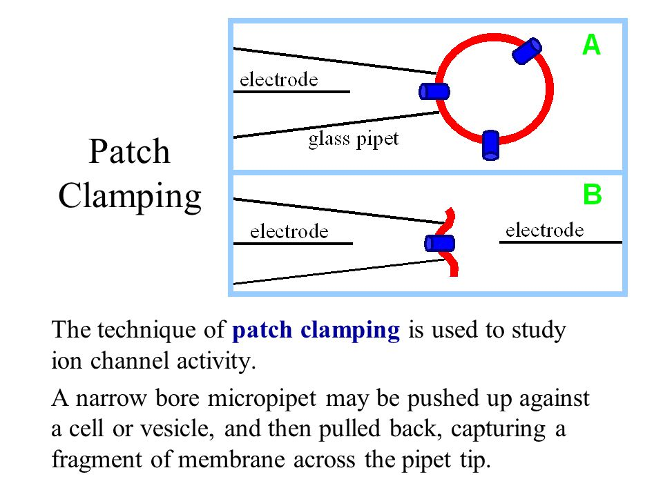 Patch Clamping The technique of patch clamping is used to study ion channel activity. A narrow bore micropipet may be pushed up against a cell or vesi
