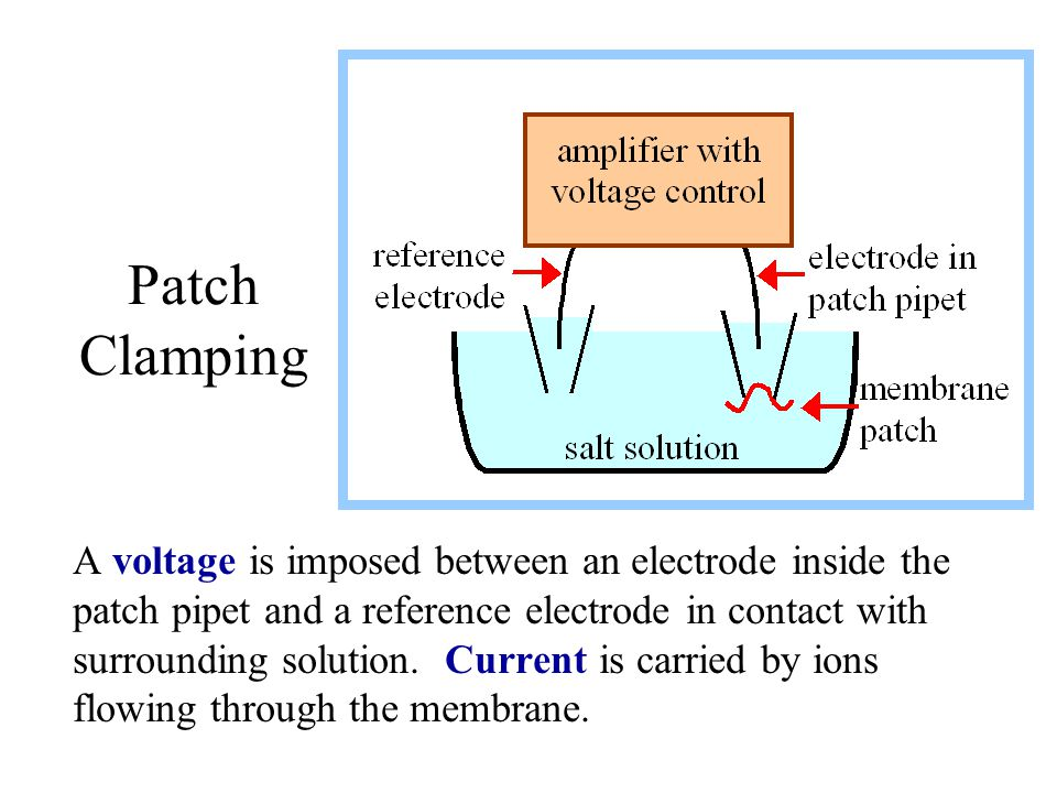 Patch Clamping A voltage is imposed between an electrode inside the patch pipet and a reference electrode in contact with surrounding solution. Curren