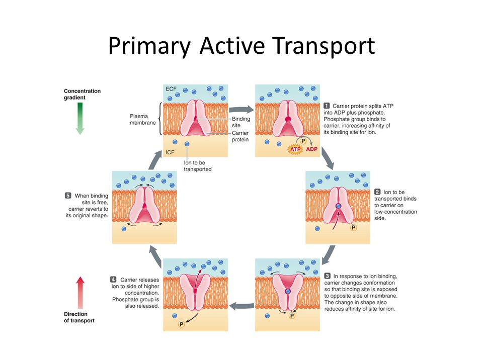 Primary Active Transport Active Transport