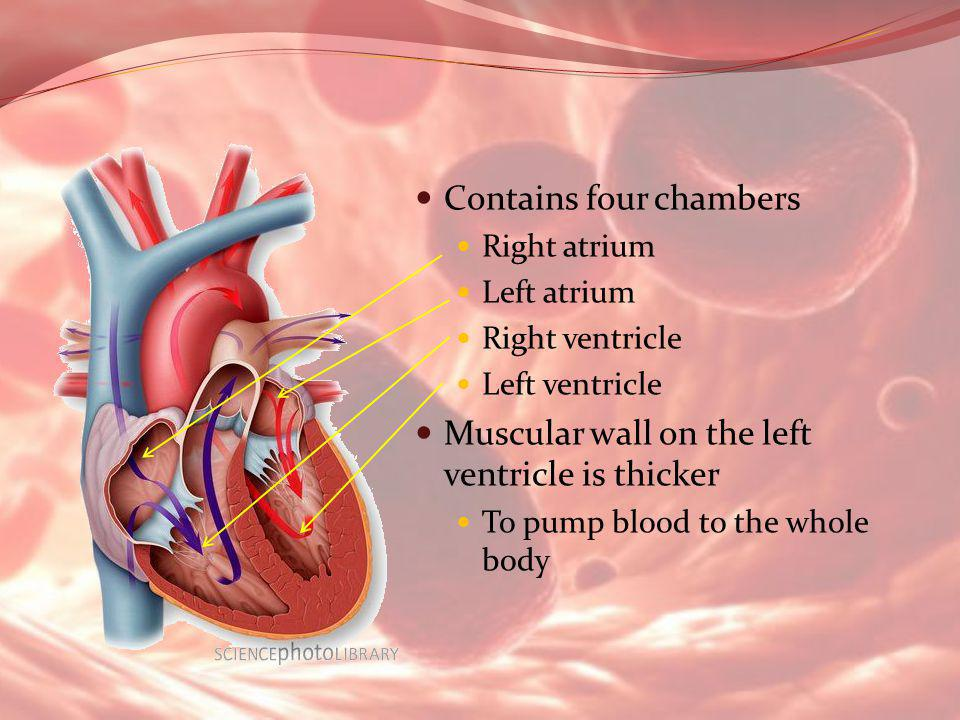 Contains four chambers Right atrium Left atrium Right ventricle Left ventricle Muscular wall on the left ventricle is thicker To pump blood to the who