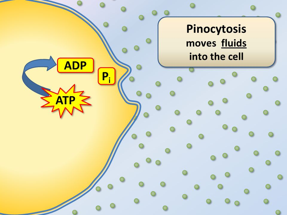 Pinocytosis moves fluids into the cell Pinocytosis moves fluids into the cell ATP ADP PiPi PiPi