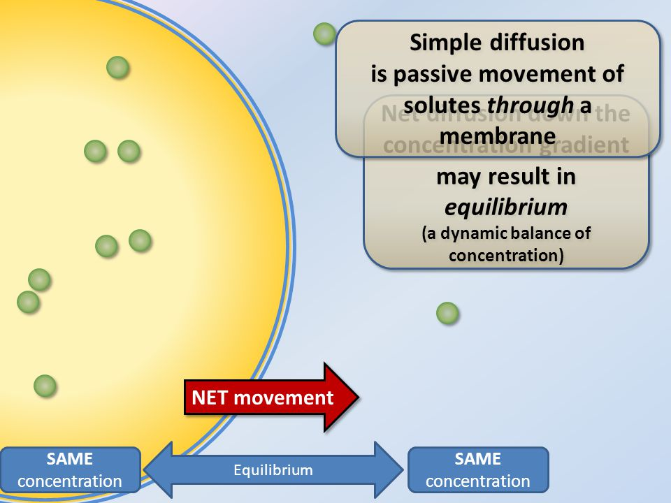 SAME concentration SAME concentration Equilibrium NET movement Net diffusion down the concentration gradient may result in equilibrium (a dynamic balance of concentration) Simple diffusion is passive movement of solutes through a membrane Simple diffusion is passive movement of solutes through a membrane