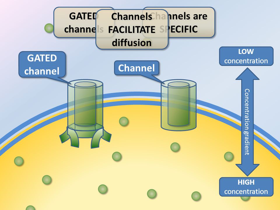 Channel HIGH concentration LOW concentration Concentration gradient GATED channel GATED channel Channels are SPECIFIC Channels are SPECIFIC GATED channels GATED channels Channels FACILITATE diffusion