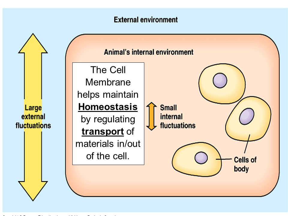 Hypotonic Solution = Cell swells because H 2 O diffuses (osmosis) INTO the cell.