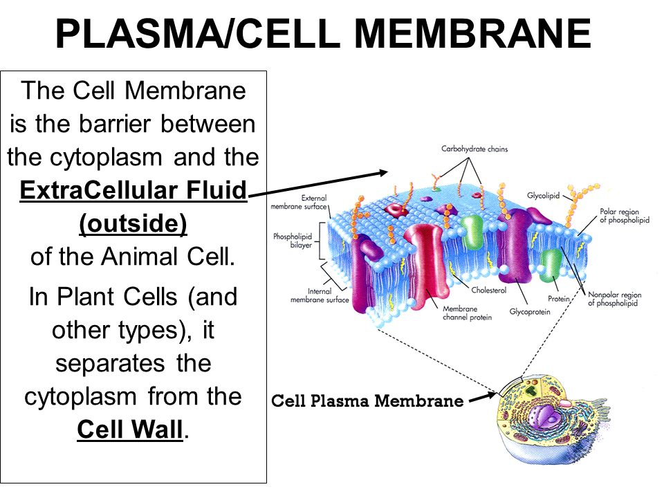Cell Membrane Structure Cholesterol adds structure and stability to the cell membrane.