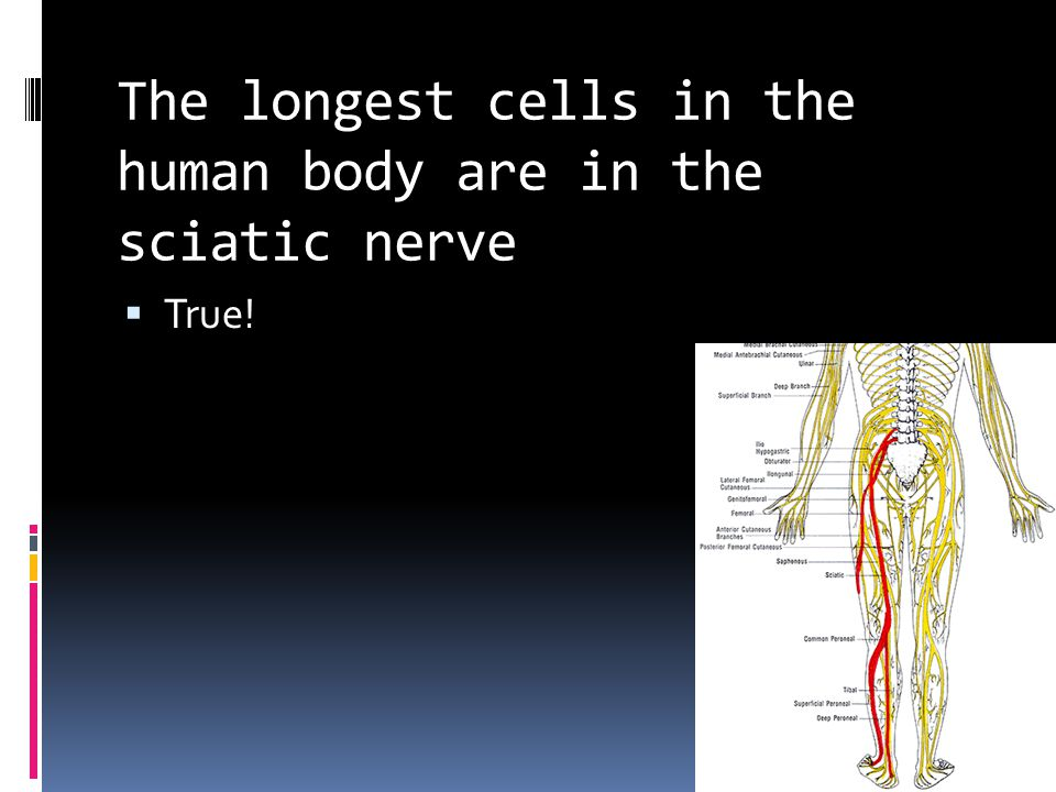 The longest cells in the human body are in the sciatic nerve  True!