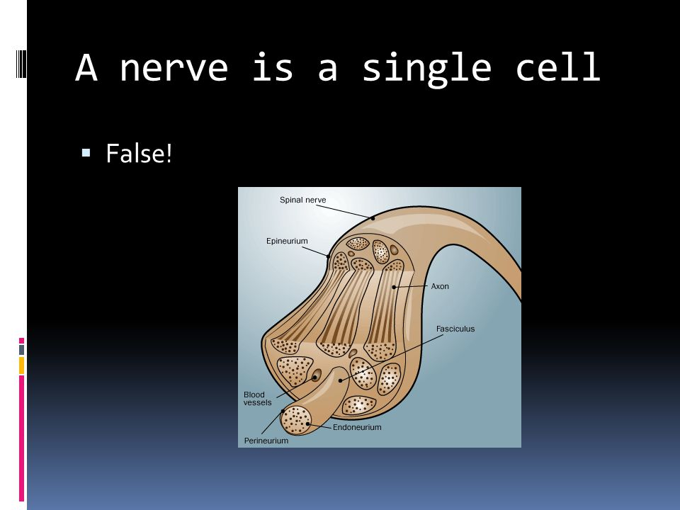 A nerve is a single cell  False!