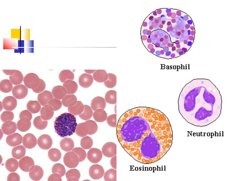 Types of WBC's Agranulocytes—do not have granules in their cytoplasm Lymphocytes Monocytes