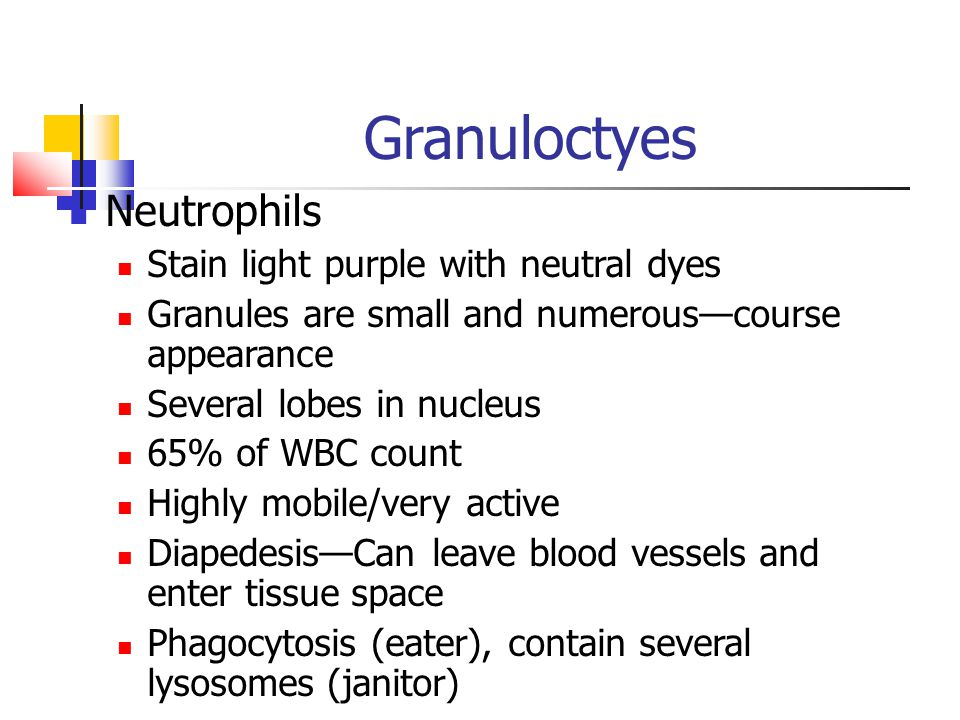 Granuloctyes Neutrophils Stain light purple with neutral dyes Granules are small and numerous—course appearance Several lobes in nucleus 65% of WBC co