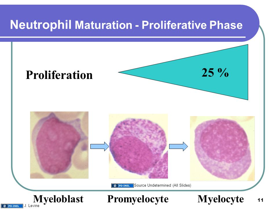 Neutrophil Maturation - Proliferative Phase MyeloblastPromyelocyte Myelocyte 25 % Proliferation 11 Source Undetermined (All Slides) J.