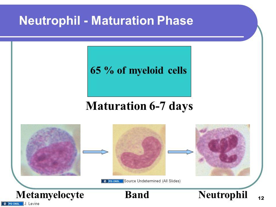 65 % of myeloid cells Maturation 6-7 days Neutrophil - Maturation Phase MetamyelocyteBandNeutrophil 12 J. Levine Source Undetermined (All Slides)