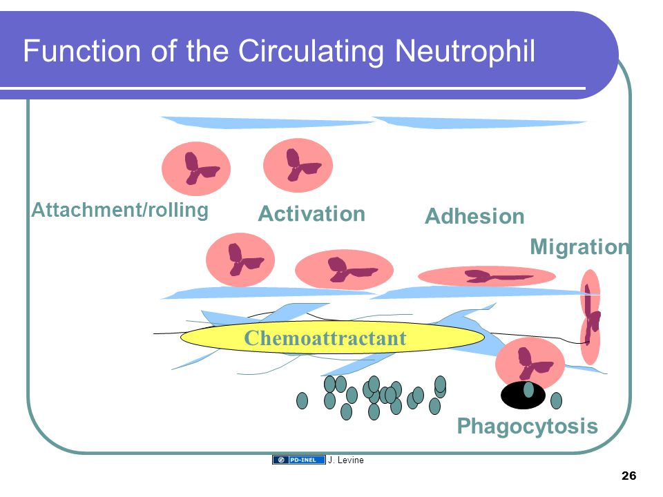 Function of the Circulating Neutrophil Chemoattractant Attachment/rolling Activation Adhesion Migration Phagocytosis 26 J. Levine