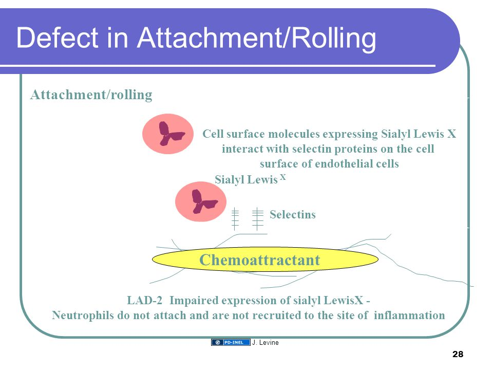 Defect in Attachment/Rolling Attachment/rolling Sialyl Lewis X Selectins Cell surface molecules expressing Sialyl Lewis X interact with selectin proteins on the cell surface of endothelial cells LAD-2 Impaired expression of sialyl LewisX - Neutrophils do not attach and are not recruited to the site of inflammation Chemoattractant 28 J.