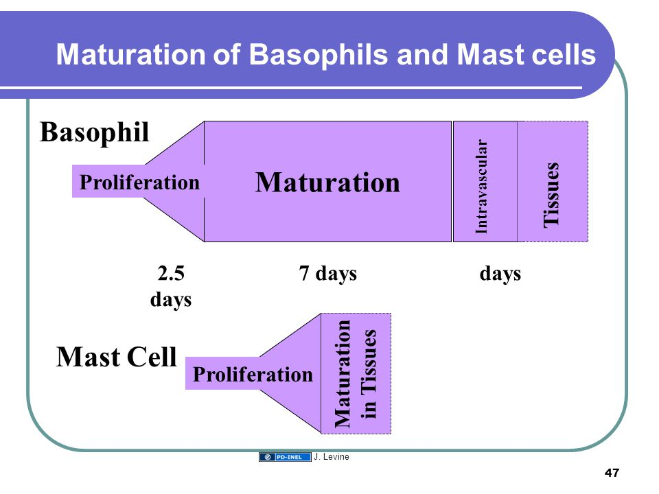 Maturation of Basophils and Mast cells Intravascular Tissues Maturation Proliferation 2.5 days 7 days Basophil Mast Cell days Maturation in Tissues Pr