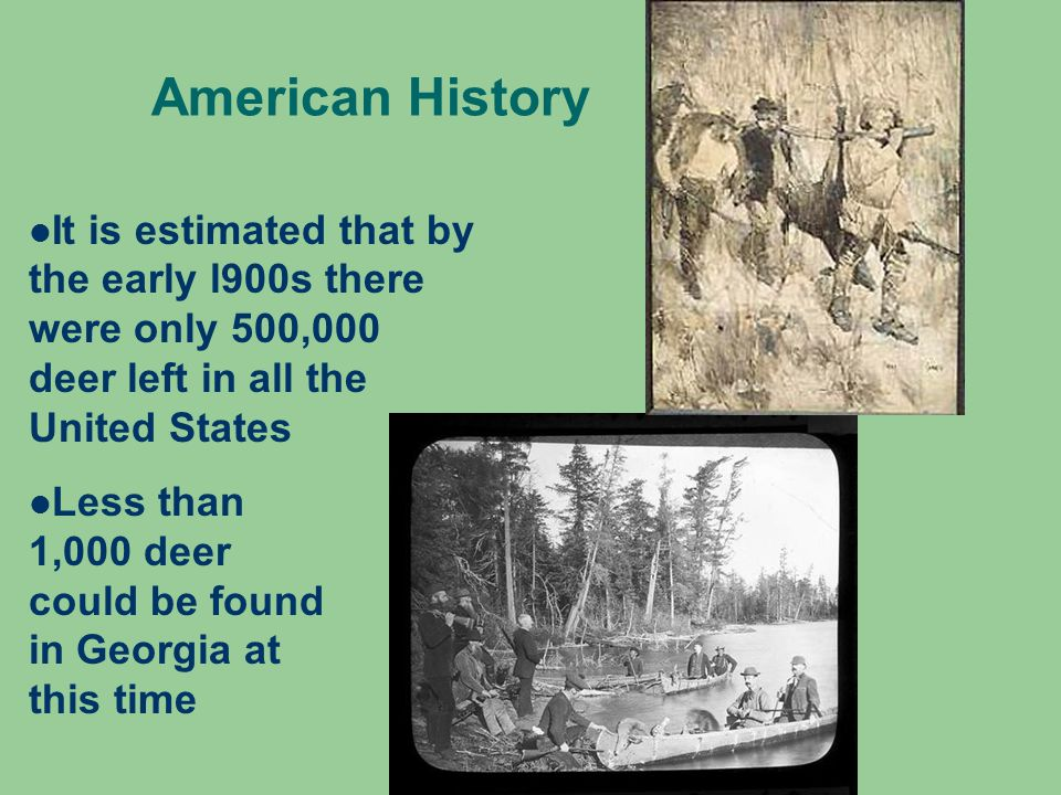American History It is estimated that by the early l900s there were only 500,000 deer left in all the United States Less than 1,000 deer could be found in Georgia at this time
