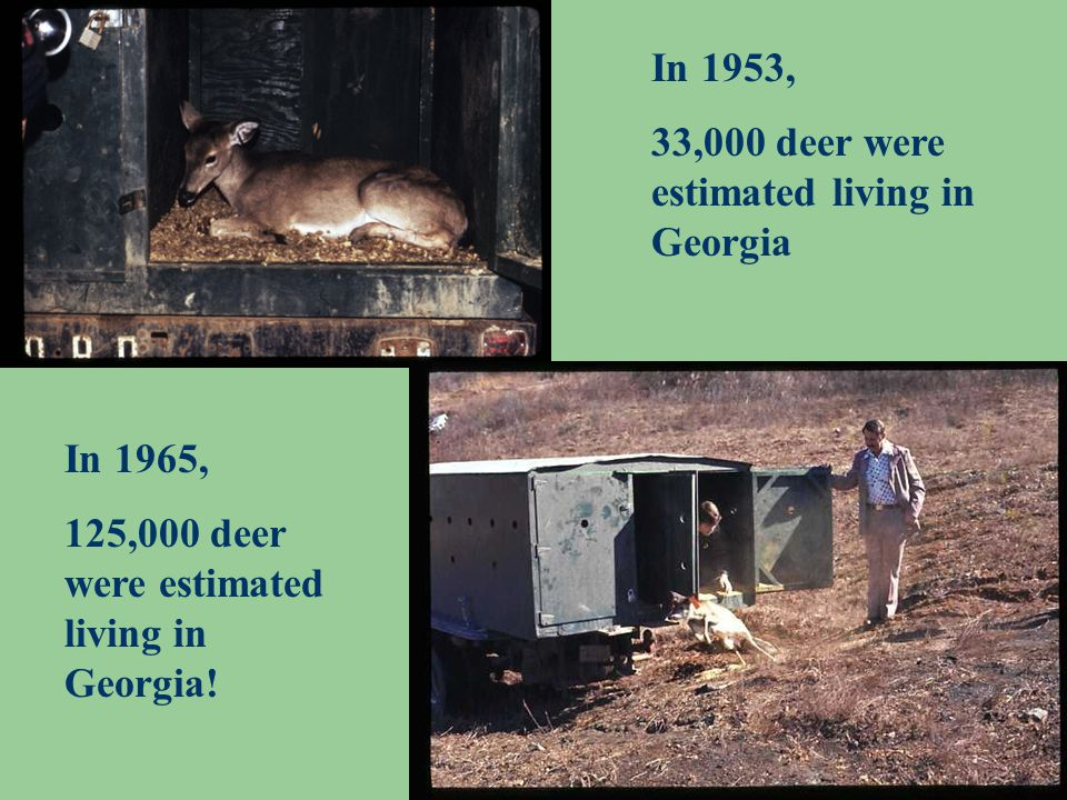 In 1953, 33,000 deer were estimated living in Georgia In 1965, 125,000 deer were estimated living in Georgia!