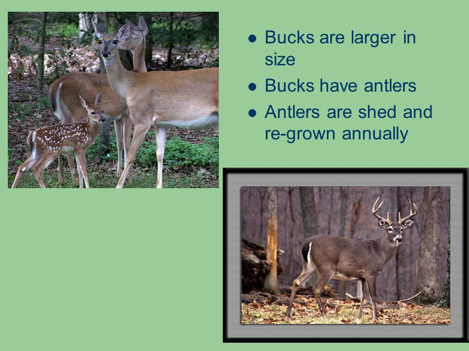 Bucks are larger in size Bucks have antlers Antlers are shed and re-grown annually