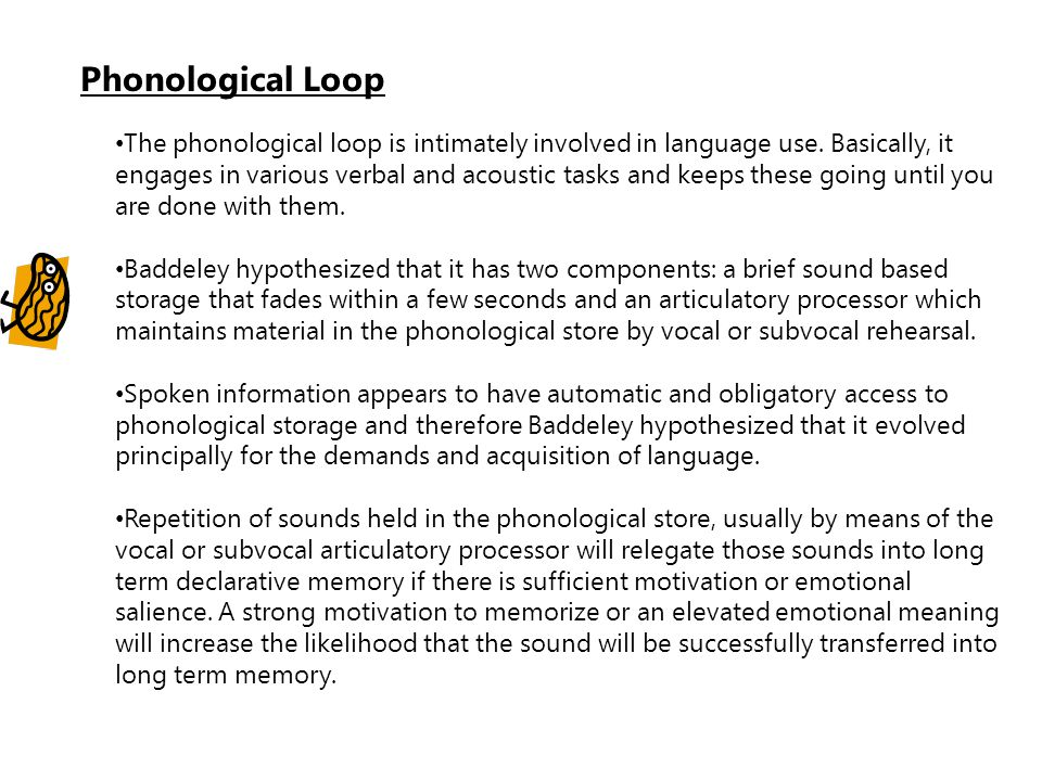 Phonological Loop The phonological loop is intimately involved in language use. Basically, it engages in various verbal and acoustic tasks and keeps t