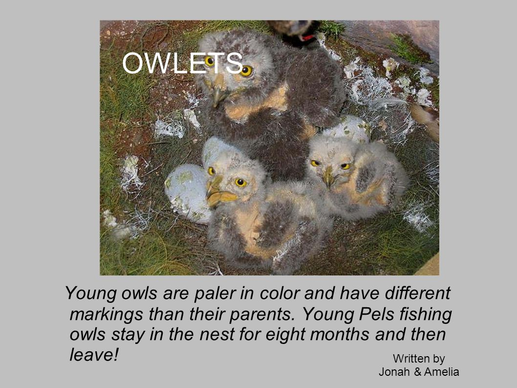 POISON Owls are getting poisoned by chemicals.