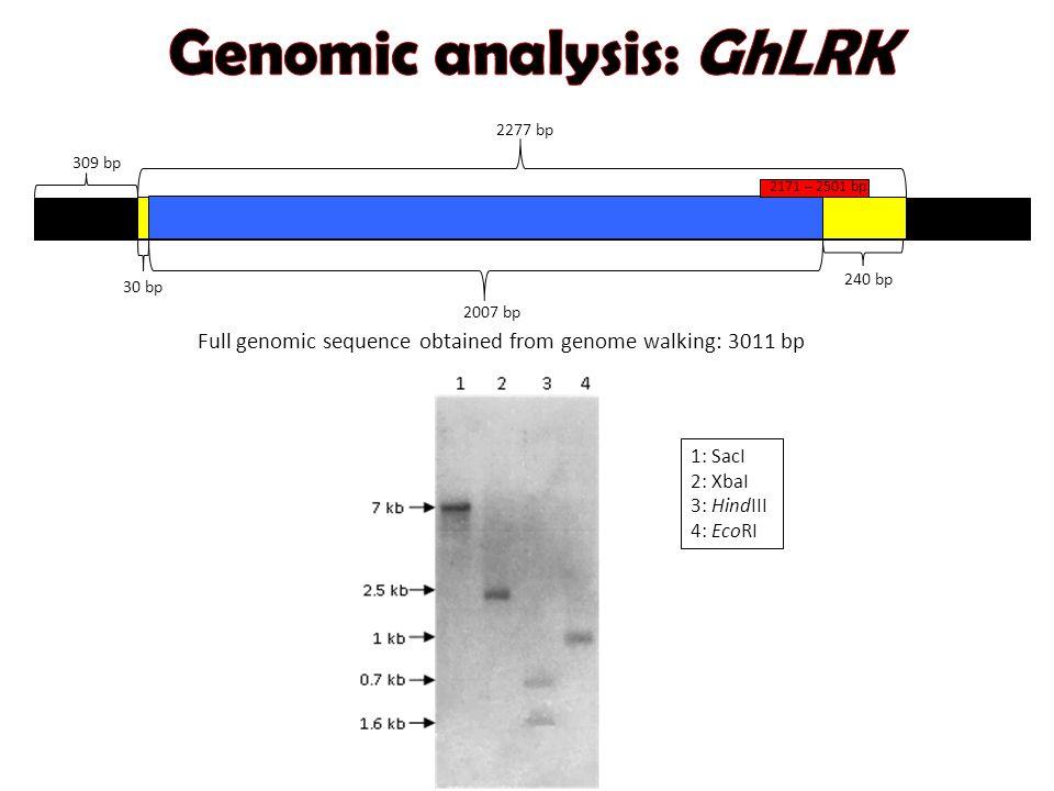 1: SacI 2: XbaI 3: HindIII 4: EcoRI 2277 bp 2007 bp 30 bp 240 bp 309 bp 2171 – 2501 bp Full genomic sequence obtained from genome walking: 3011 bp